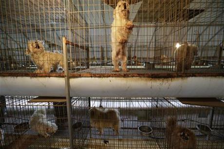 Em 28 De Julho De 2016, Cães São Vistos Em Gaiolas Em Uma Fábrica De Filhotes Em Yangpyeong, Coreia Do Sul. (Ap Photo/Ahn Young-Joon)