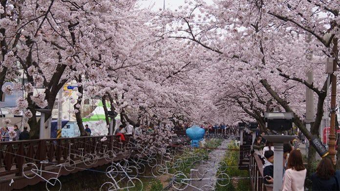 170321_Cherry Blossom12_In