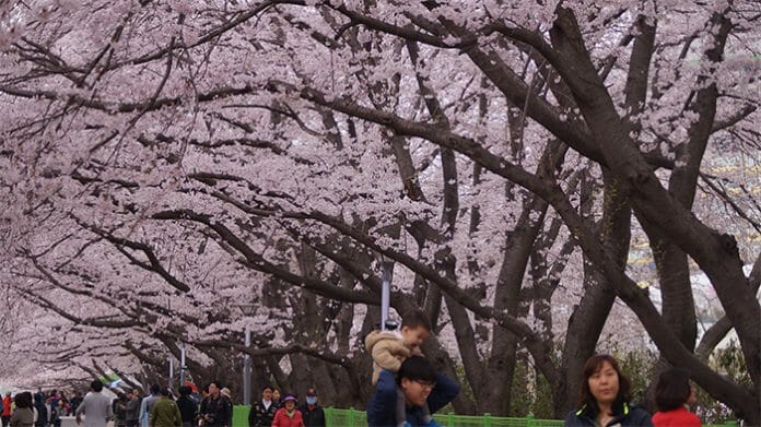 170321_Cherry Blossom2_In