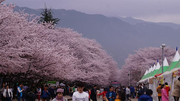 170321_Cherry Blossom30_In