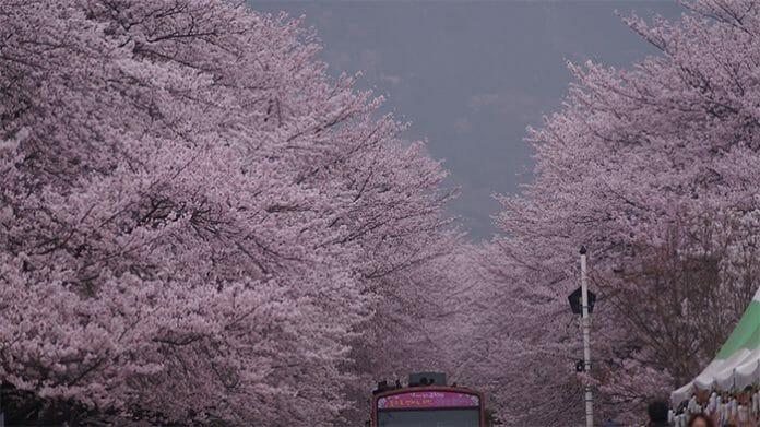 170321_Cherry Blossom3_In