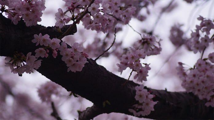 170321_Cherry Blossom5_In