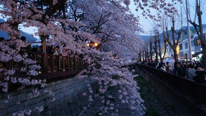 170321_Cherry Blossom8_In