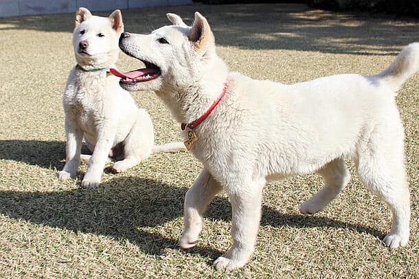 Dois Cães Jindo Deixados Na Casa Azul Pela Ex-Presidente Park Geun-Hye. ( Foto: Casa Azul)