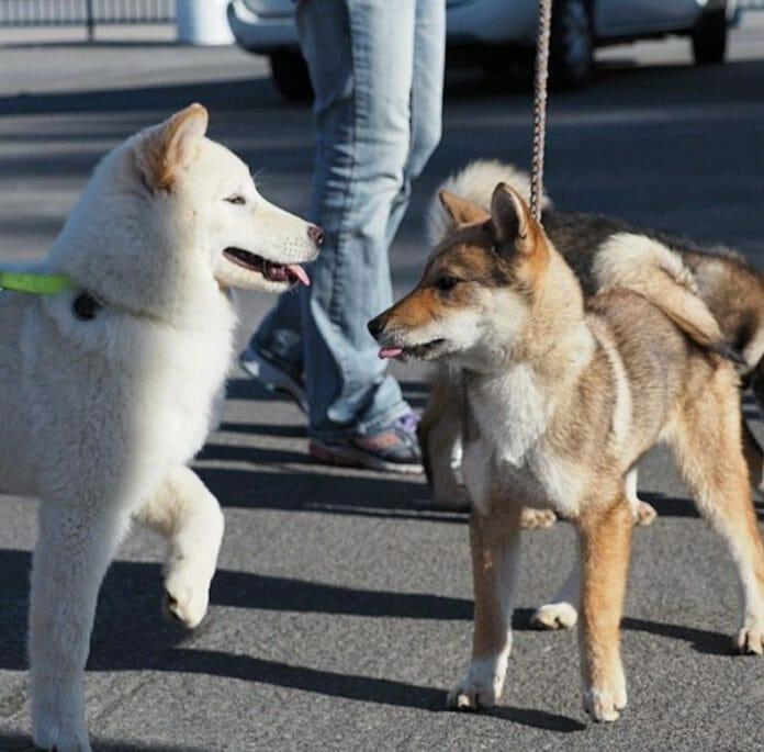 Fote: Http://Dogtime.com/Dog-Breeds/Jindo