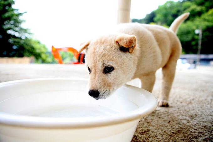 O Cão Jindo Coreano É Uma Raça De Cão De Caça Conhecida Por Ter Se Originado Na Ilha De Jindo Na Coréia Do Sul. Fonte: Http://Dogtime.com/Dog-Breeds/Jindo#/Slide/1