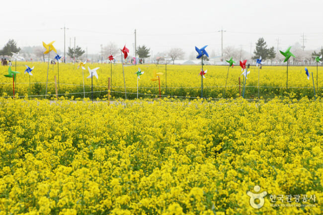 As Flores Da Cevada Em Maengbang. Foto: Korea Tourism Organization