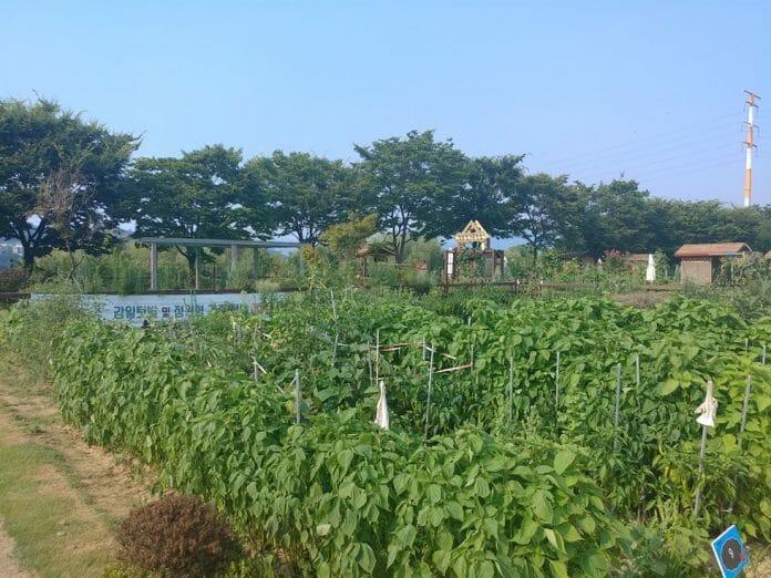 Plantação Comunitária Próxima Ao Rio Han Em Gangdong-Gu. Foto: Koreatimes