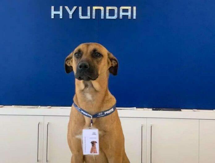 Cão Abandonado Consegue Emprego Em Concessionária Hyundai No Brasil