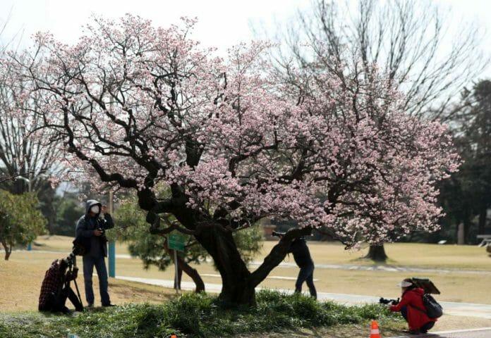 A Primavera De 2021 Floresce Na Coreia